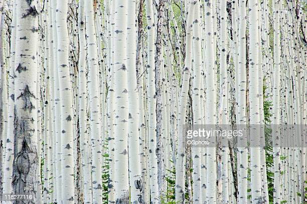 White birch tree forest