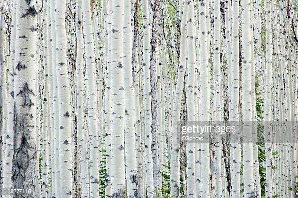 Floresta de vidoeiro branco