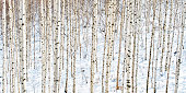 White birch trees in the white snow