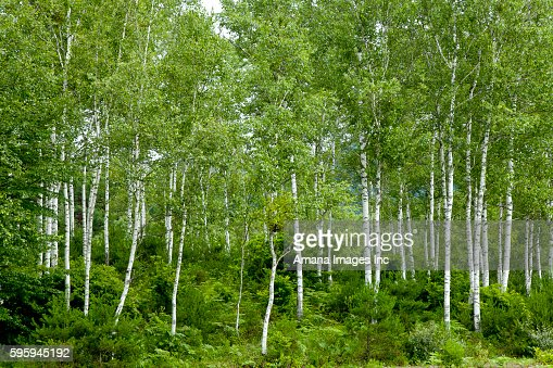 Silver birch tree stock photos and pictures getty images