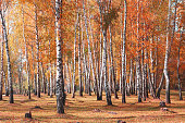 White birches trees in autumn in birch grove