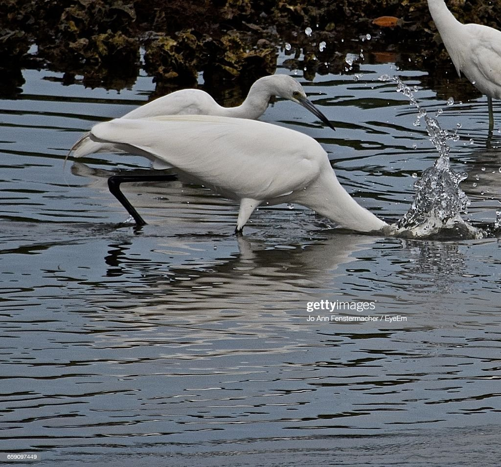 White Birds In Lake