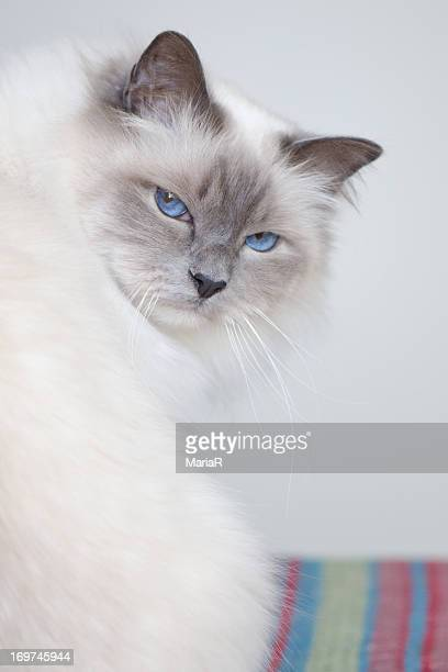 White birman cat with blue eyes looking back