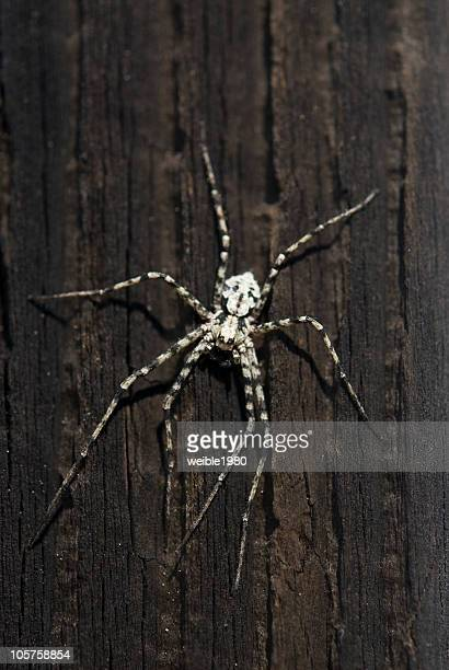 Weiß-schwarze Spinne-Philodromus margaritatus