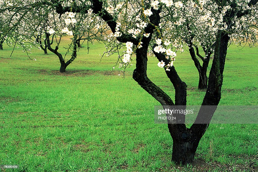 White blossoms on tree : Stock Photo