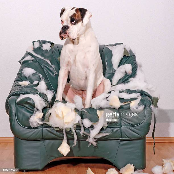 White Boxer sitting on a leather chair