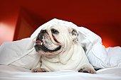 White bulldog under duvet