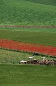 White Bulls and Fields