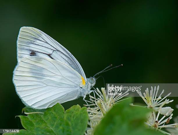 White butterfly feeding on beige flowers