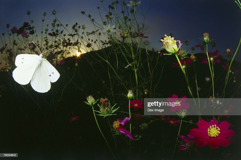 White Butterfly in flight at sunset : Stock Photo