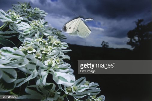 White Butterfly in flight, flapping wings : Stock Photo