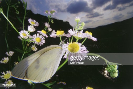 White Butterfly on flower, close up : Stock Photo