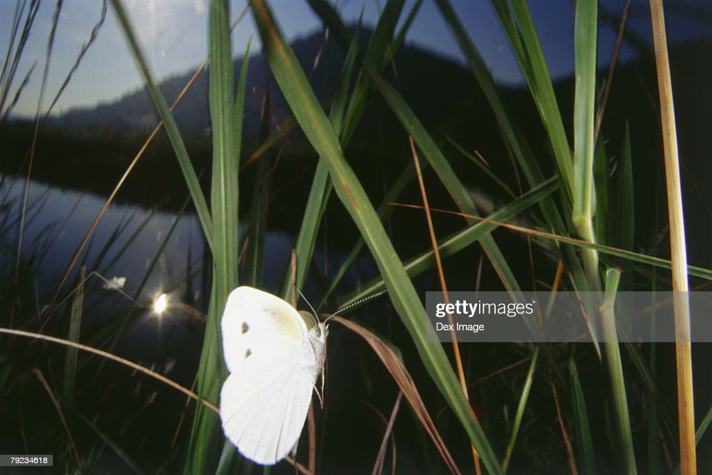 White Butterfly on leaf, close up : Stock Photo
