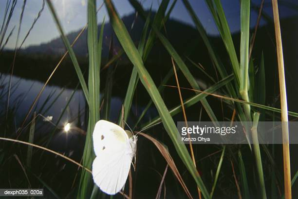 White Butterfly on leaf, close up