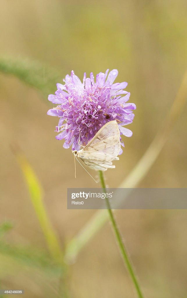 White butterfly on violet flower : Stock Photo