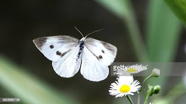 White Cabbage Butterfly in the Air.