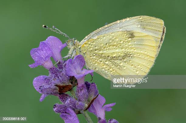 White cabbage garden butterfly (Pieris rapae) on flower