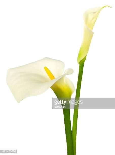カラリリーホワイト