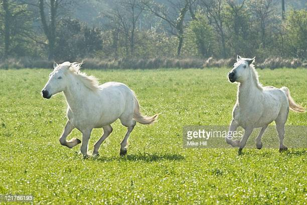 White Camargue Horses (Equus caballus) running through field,  Camargue, France