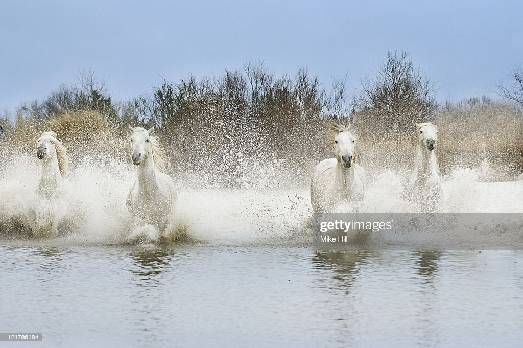 White Camargue Horses (Equus caballus) running through water,  Camargue, France : Stock Photo