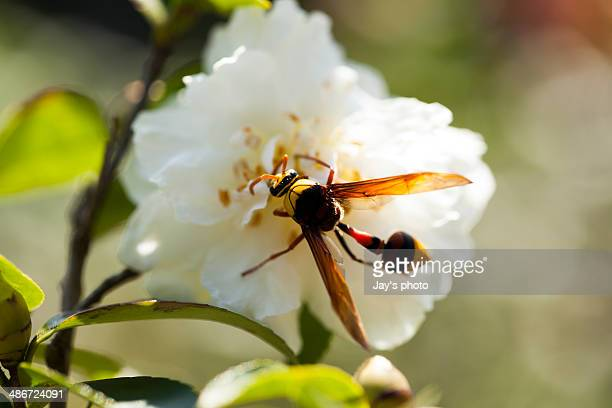 White camellia and bee