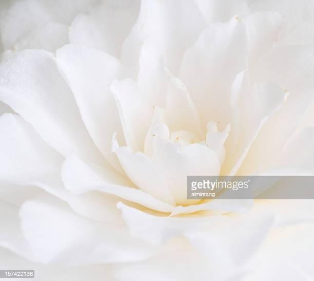 Branco Camélia