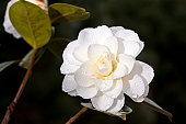 white camellia with raindrops