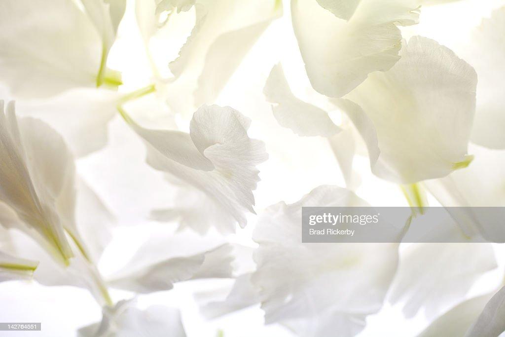 White carnation petals on illuminated background : Stock Photo