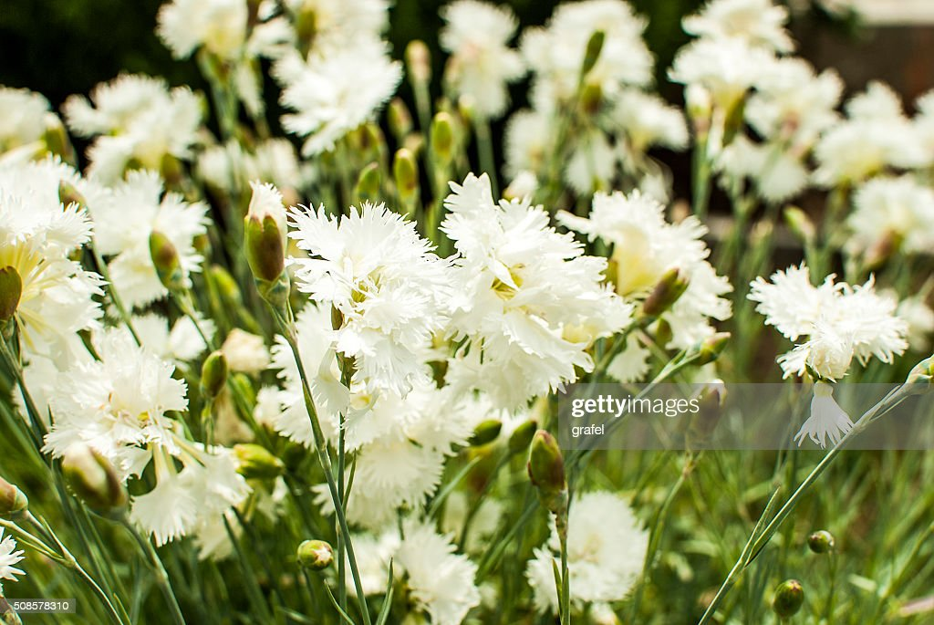White carnation : Stock Photo
