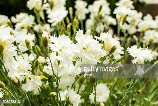 White carnation : Stockfoto