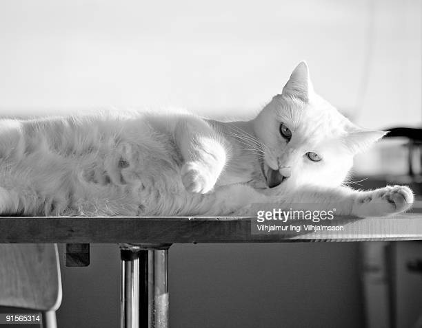 White cat cleaning it self on a table