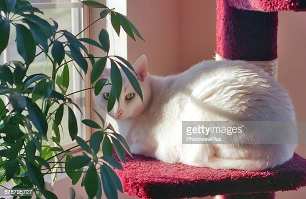 White cat, house plant, kitty condo, window