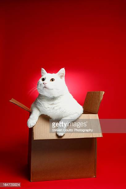 White Cat In A Box