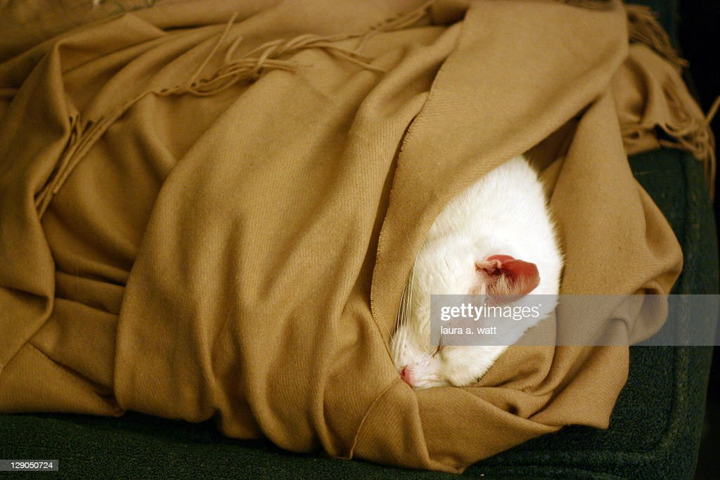 White cat in shawl : Stock Photo