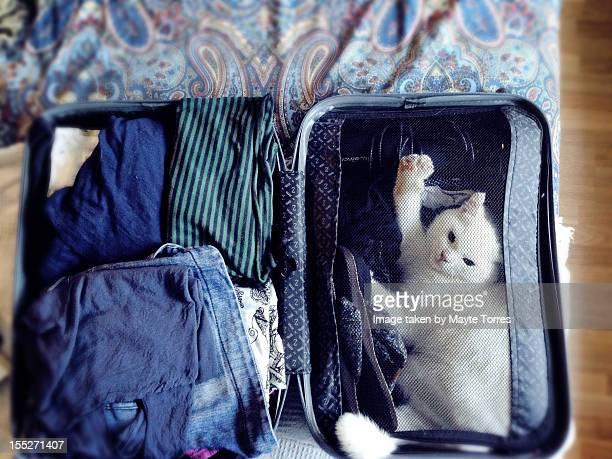 White cat in suitcase