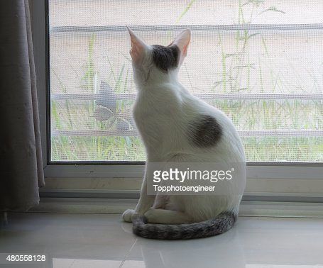 White cat is looking to outside : Stock Photo