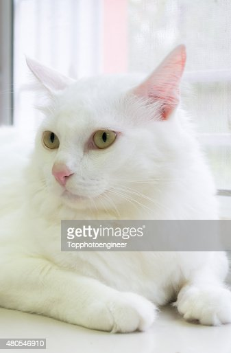 Gato branco é sentada no chão e olhando para a frente : Foto de stock