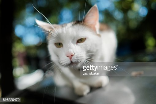 White cat looking to the camera : Stockfoto