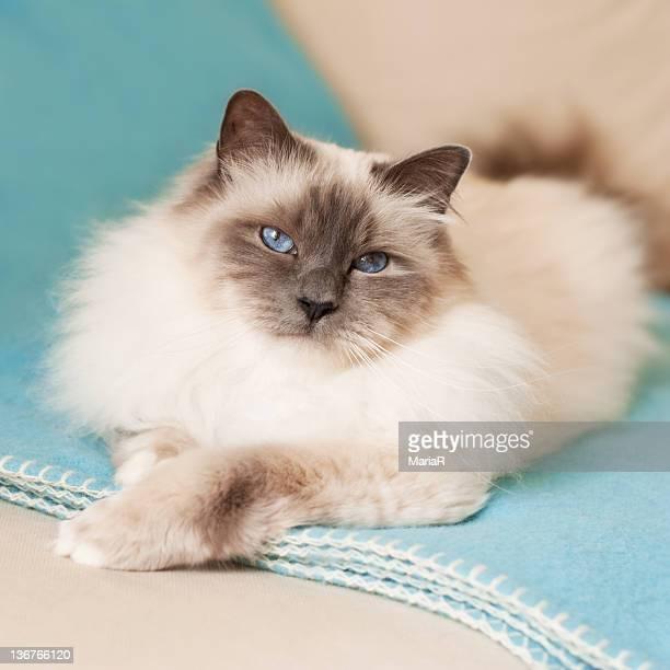 White cat on blue blanket