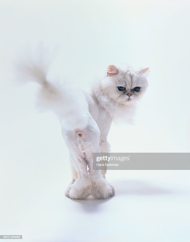 White Cat : Stock Photo
