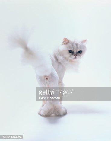 White Cat : Stock-Foto