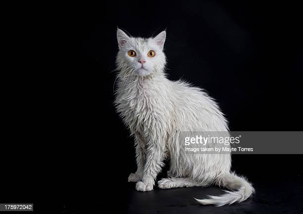 White cat posing after shower