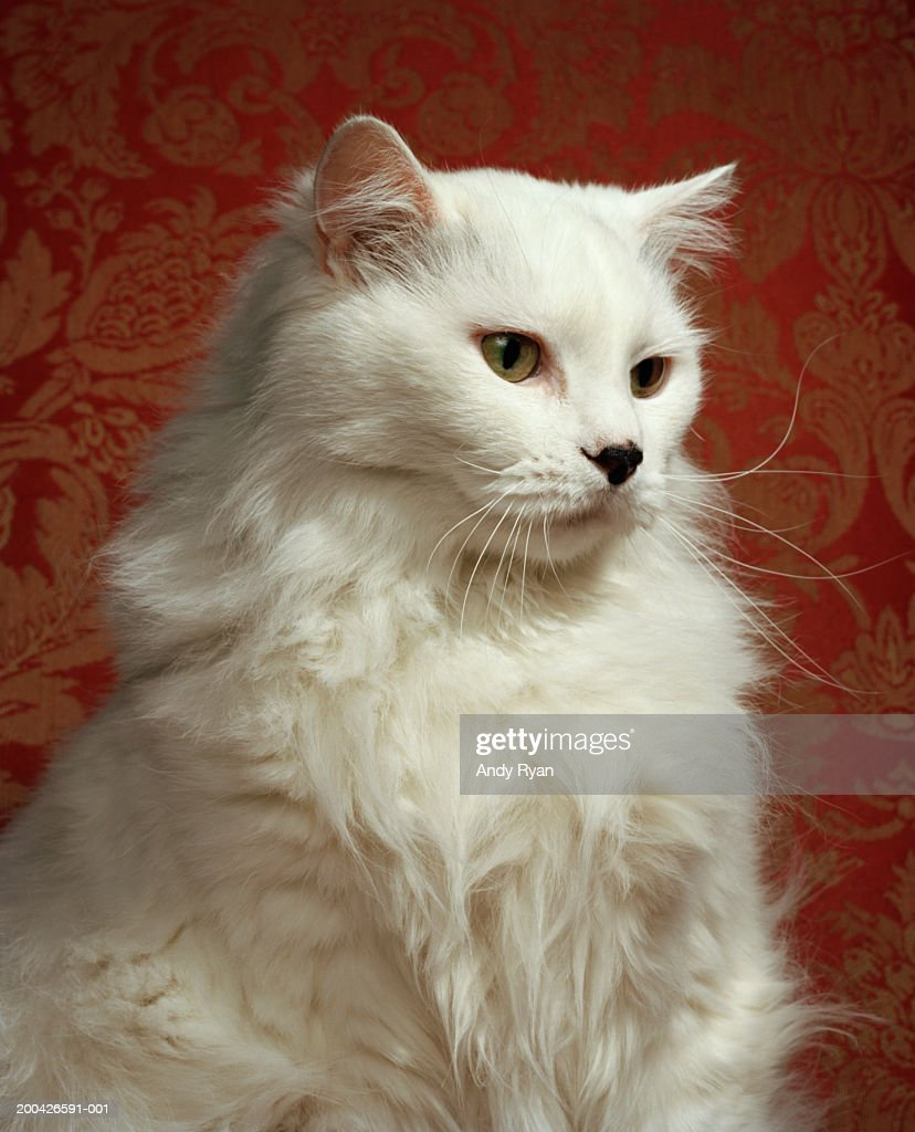 White cat, side view, close-up : Stock Photo