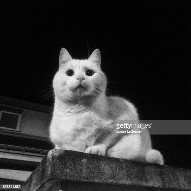 White cat sitting on a wall at nighttime