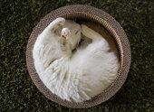 White cat sleeping in circular box