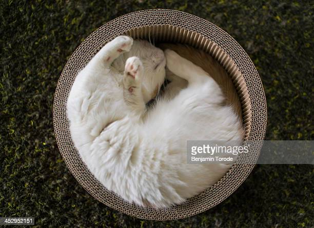 White cat sleeping in circular box