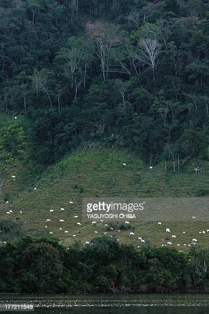 White cattle spread on pastures cultivated in the rainforest next to the Xingu river in Sao Felix do Xingu in Para state northern Brazil on August 6...