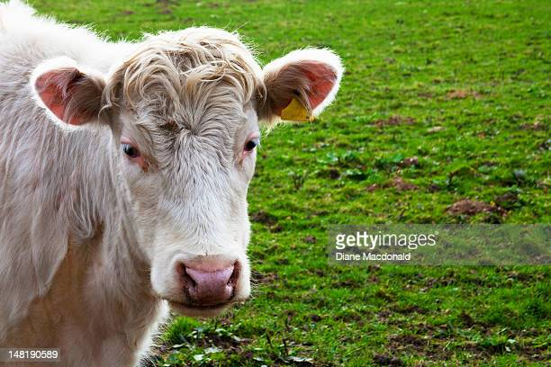 A white  Charolais cow in a Scottish field