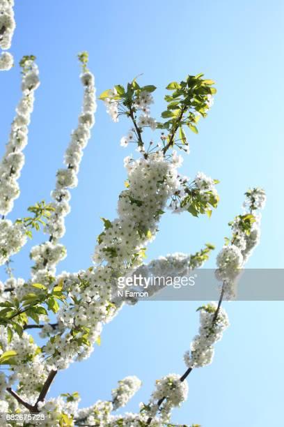White cherry blossom with blue sky
