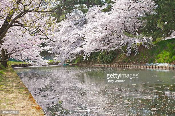 White cherry blossoms above calm water